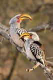 两群南部的黄色开帐单的犀鸟 库存照片