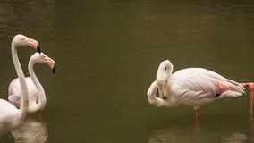 两群在水干净的羽毛的桃红色火鸟立场 股票视频