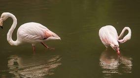 两群在水干净的羽毛的桃红色火鸟立场 股票录像