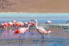 两群桃红色火鸟在玻利维亚的安地斯的拉古纳Colorada 库存照片