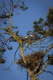 两老鹰乐队在他们的巢上 免版税库存图片