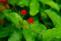 两自然星红色花 免版税图库摄影