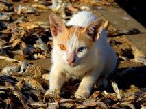 两色的眼睛猫Chuim村庄Bandra 免版税图库摄影