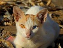 两色的眼睛猫Chuim村庄Bandra 库存图片