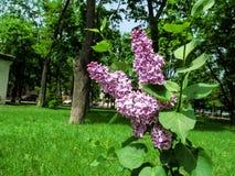 两色紫丁香属植物寻常的`感觉`的枝杈在公园的背景中 库存图片