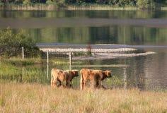 两苏格兰人高地母牛 库存图片
