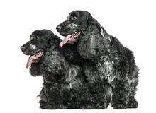 两英国紧挨着气喘的猎犬,隔绝 库存图片
