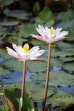 两莲花在河 库存图片
