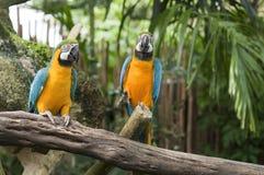 两蓝色和黄色金刚鹦鹉 免版税库存照片