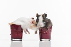 两蓬松滑稽的仓鼠到玻璃里 免版税图库摄影
