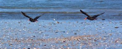 两蛎鹬飞行 免版税库存图片