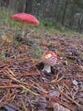 两蛤蟆菌在森林里 免版税图库摄影
