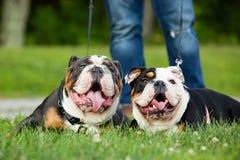 两训练了放置在草的英国牛头犬外面 免版税库存图片