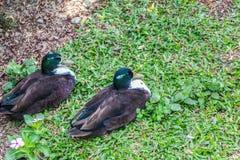 两说谎在草的鸭子 免版税库存图片