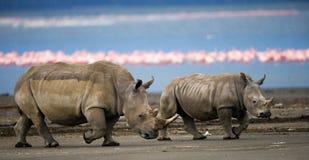 两走在一群火鸟的背景的犀牛在国家公园 肯尼亚 国家公园 闹事 免版税图库摄影