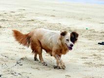 两走在海滩的色的dag 库存图片