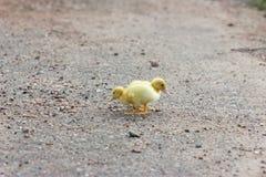 两走在路的小的鸭子 免版税库存照片