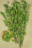 两足动物 干燥工厂 草药, phytotherapy医药草本 免版税库存照片