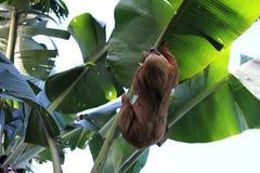 两趾怠惰垂悬在香蕉树的-马塔加尔帕尼加拉瓜 库存图片