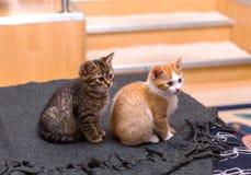 两逗人喜爱的在床上的平纹小猫灰色和红色开会 库存照片