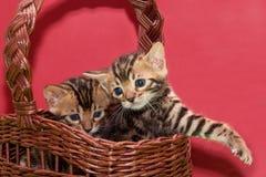两逗人喜爱的孟加拉小猫在一个柳条筐坐 一个月大 库存照片