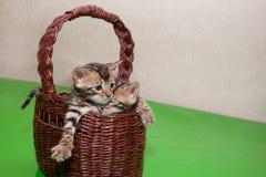 两逗人喜爱的孟加拉小猫在一个柳条筐坐 一个月大 免版税库存图片