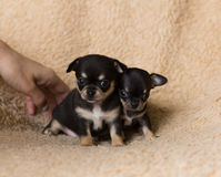 两逗人喜爱的小奇瓦瓦狗小狗 库存照片