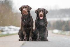两逗人喜爱的幼小棕色拉布拉多猎犬尾随小狗一起坐具体街道微笑 库存图片