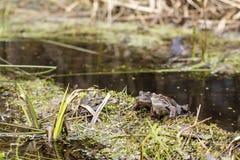 两逗人喜爱的棕色青蛙蛙属temporaria坐草近 库存照片