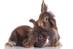 两逗人喜爱的狮子头兔子bunnys侧视图  库存图片
