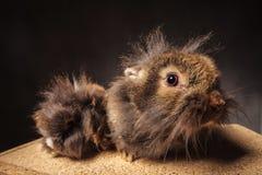 两逗人喜爱的狮子头小兔 免版税库存图片
