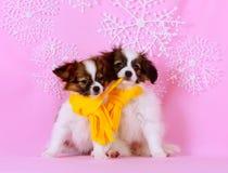 两逗人喜爱的白色小狗 狗品种Phalen 免版税库存照片