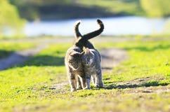 两逗人喜爱的镶边在胳膊的小猫走的胳膊在绿色草甸我 库存照片