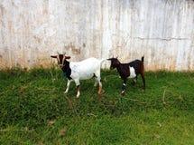 两逗人喜爱的blanck和白色山羊在农场 库存照片