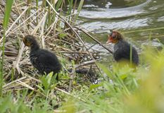 两逗人喜爱的duclings,婴孩鸡欧亚老傻瓜骨顶属atra,亦称共同的老傻瓜接近的画象与 库存照片