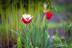 两郁金香以绿色 库存照片