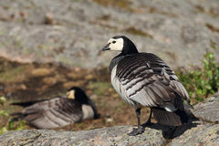 两野生加拿大鹅 免版税库存照片