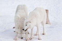 两野生北极狼在白色雪使用 在野生生物的动物 极性狼或白狼 库存图片