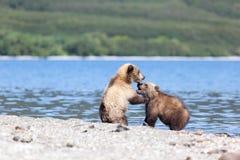 两野生棕熊崽由湖使用 免版税库存图片