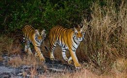 两野生老虎在早晨微明下在密林 印度 17 2010年bandhavgarh bandhavgarth地区大象印度madhya行军国家公园pradesh乘驾umaria 中央邦 图库摄影