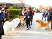 两金毛猎犬和Samoye使用 图库摄影
