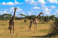两长颈鹿画象  serengeti坦桑尼亚 免版税库存照片