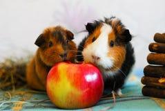 两间试验品吃着一个苹果 宠物 免版税库存图片