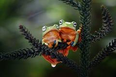 两雨蛙,飞行的青蛙,在分支的青蛙 免版税库存图片