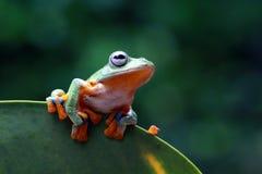 两雨蛙,飞行的青蛙,在绿色叶子的青蛙 图库摄影