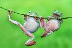 两雨蛙 库存照片