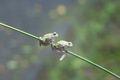 两青蛙,动物, 免版税库存图片