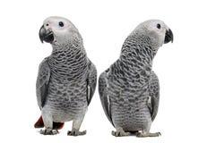 两非洲人般的灰色鹦鹉(3个月) 免版税库存图片