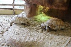 两非洲被激励的草龟 库存图片