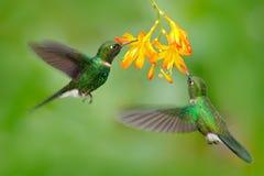 两飞行的蜂鸟,在飞行的鸟 与蜂鸟的行动场面 电气石吃从美丽的黄色花的Sunangel花蜜 免版税图库摄影
